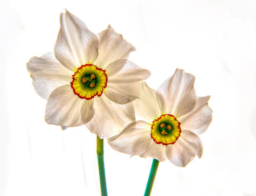 White and orange Daffodil Flowers