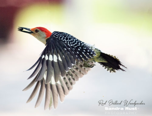 Red Bellied Woodpecker In-flight 2