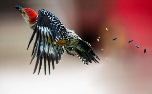 Red Bellied Woodpecker In-flight