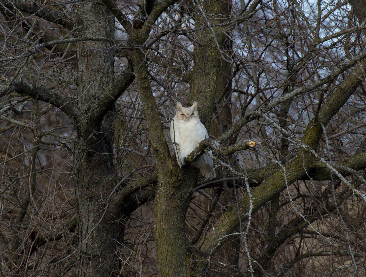 Leucistic Great Horned Owl