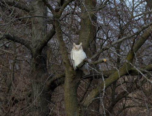 Leucistic Great Horned Owl