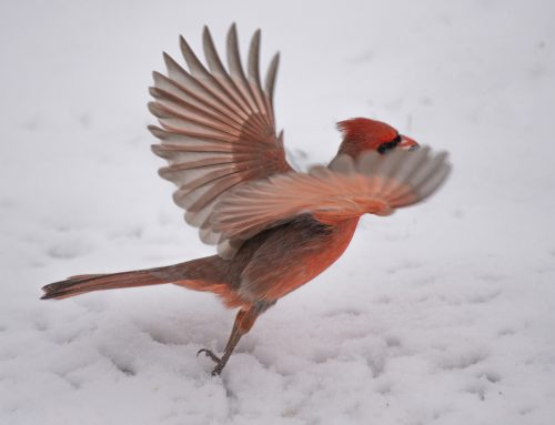 Northern Cardinal: Fly Away with the Goods