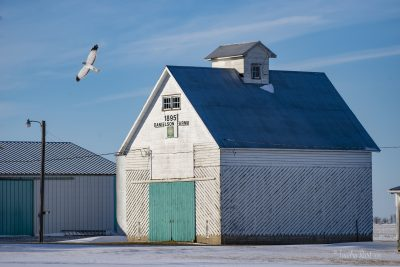 Danielson Farm 1895- with a Northern Harrier