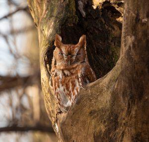 Red-Phase-Eastern-Screech-Owl-w