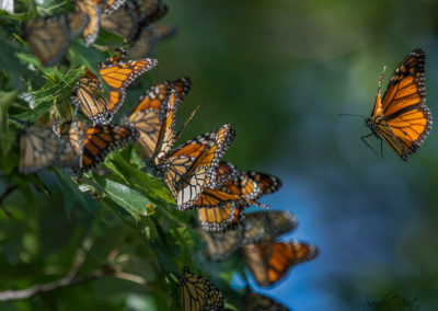 The Monarch Migration