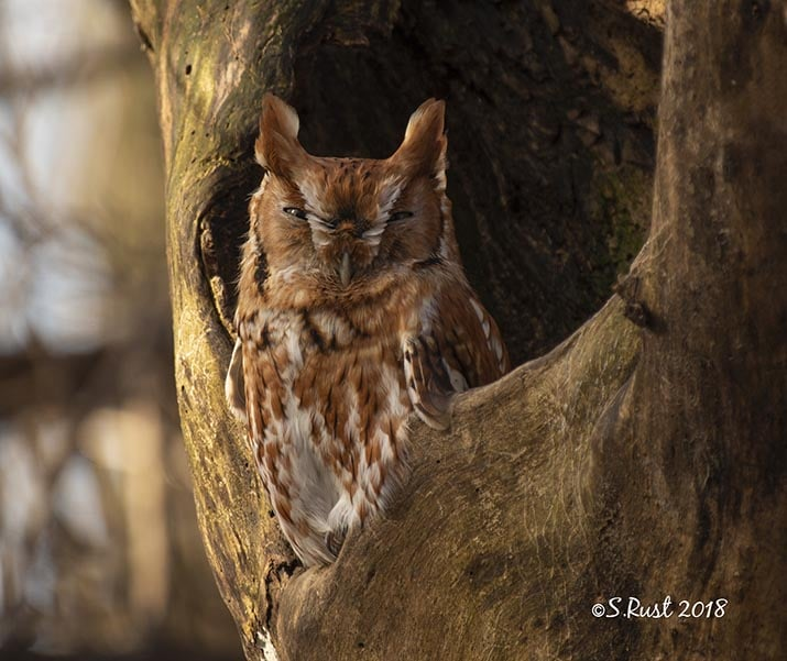 Eastern Screech Owl-Will County IL