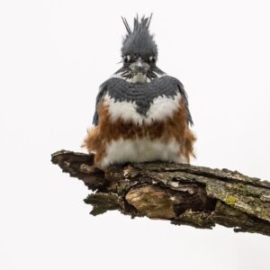 Belted Kingfisher - fine art photographic print