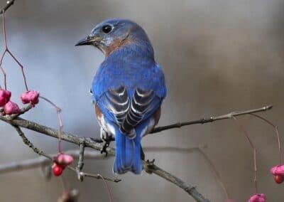 Eastern Bluebird-Songbirds of Illinois