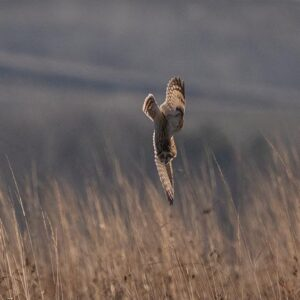 Short eared owl dives to survive