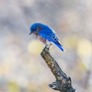 Eastern Bluebird Bowed in Prayer